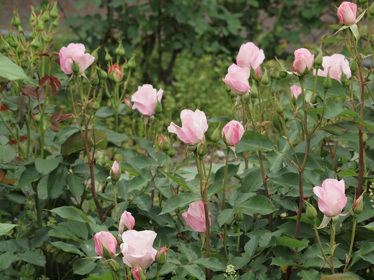 『薔薇の思い出・・・♪』_d0054276_20263347.jpg