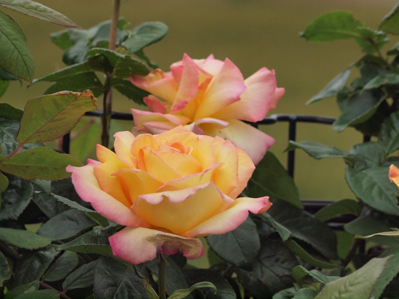『薔薇の思い出・・・♪』_d0054276_20264514.jpg