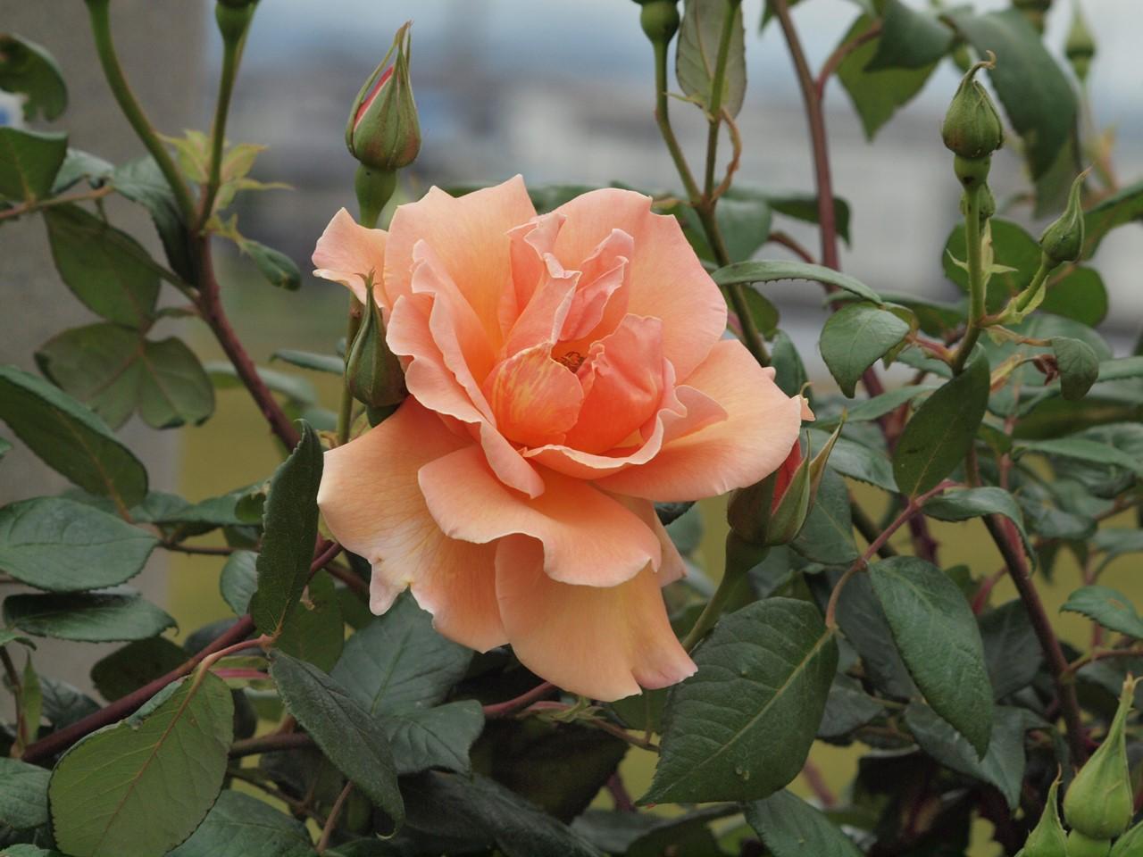 『薔薇の思い出・・・♪』_d0054276_2026473.jpg