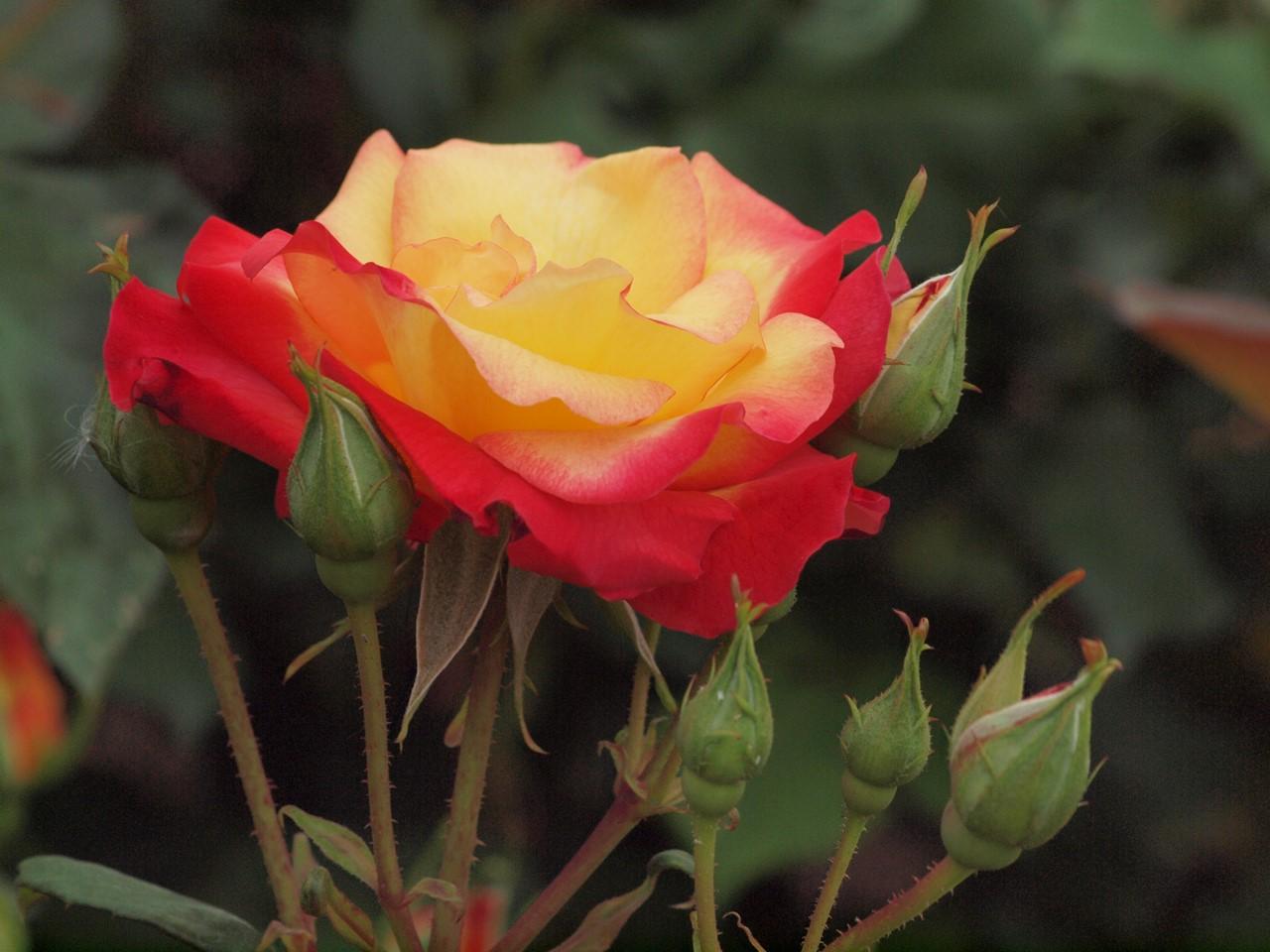 『薔薇の思い出・・・♪』_d0054276_20265998.jpg