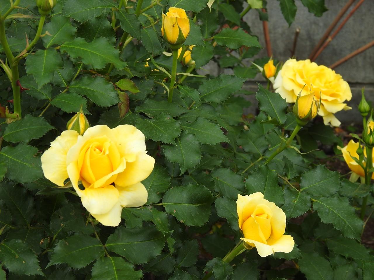 『薔薇の思い出・・・♪』_d0054276_20271275.jpg