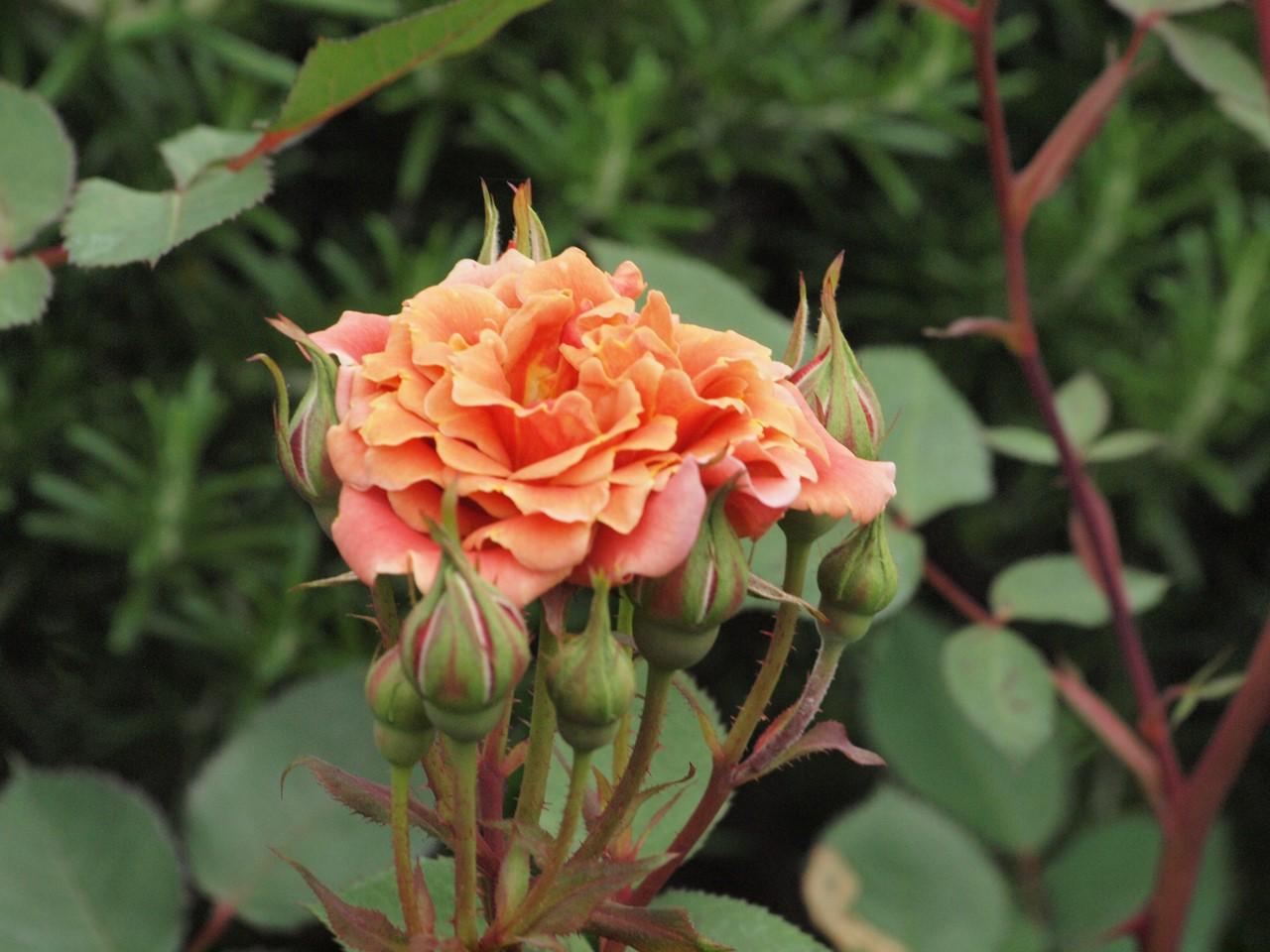 『薔薇の思い出・・・♪』_d0054276_20272594.jpg
