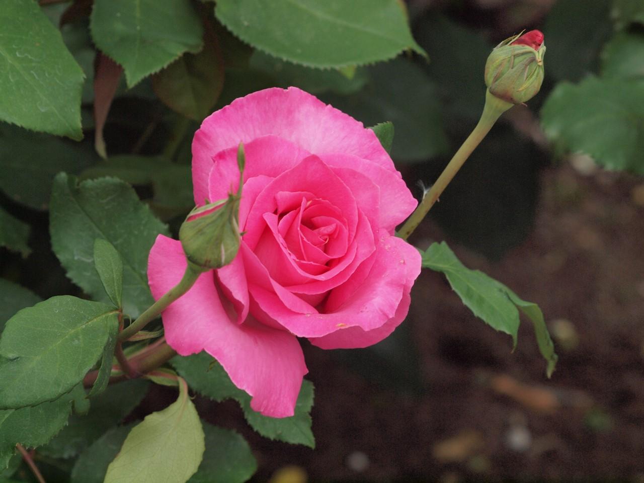 『薔薇の思い出・・・♪』_d0054276_20275262.jpg