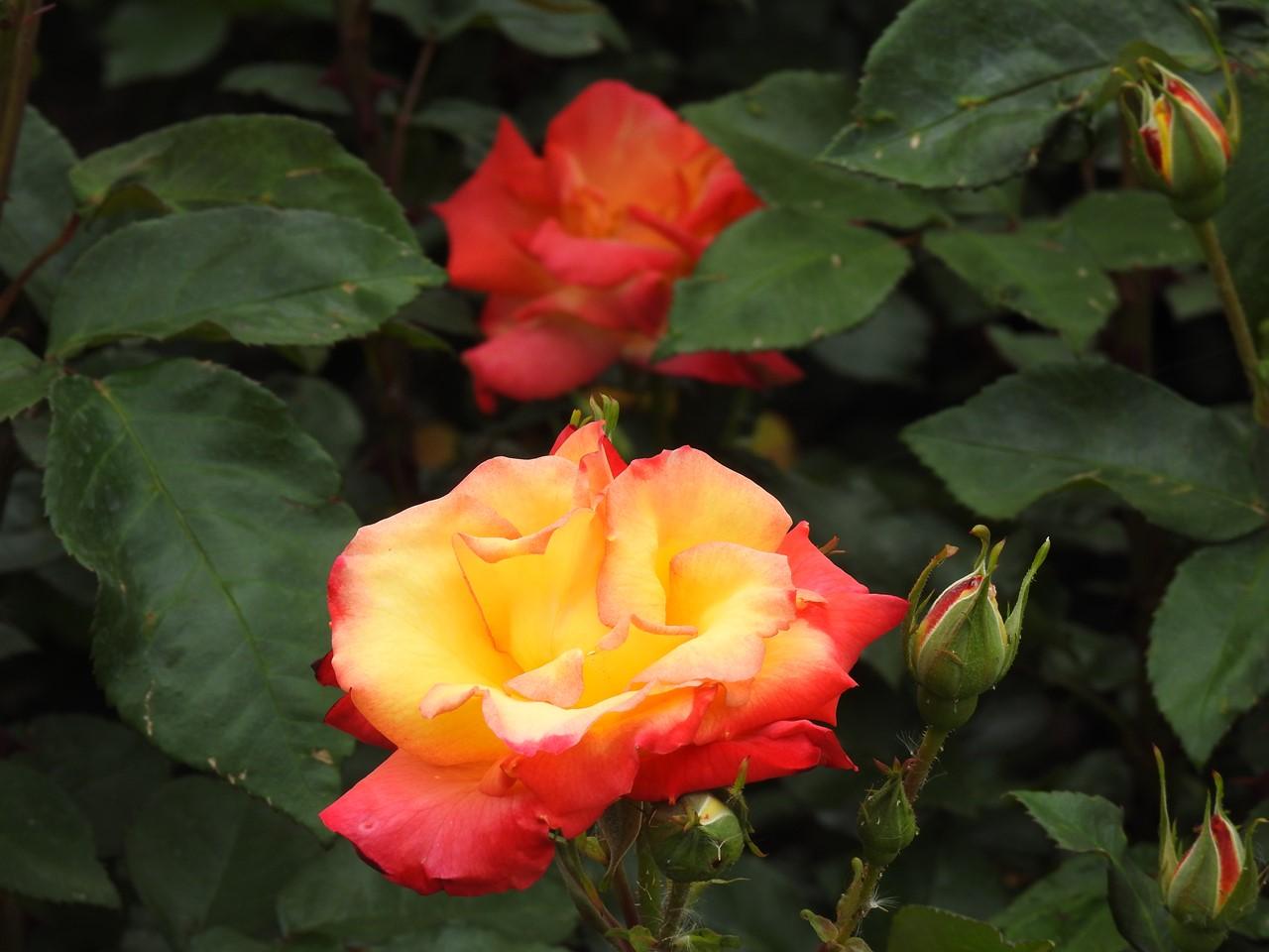 『薔薇の思い出・・・♪』_d0054276_20281896.jpg