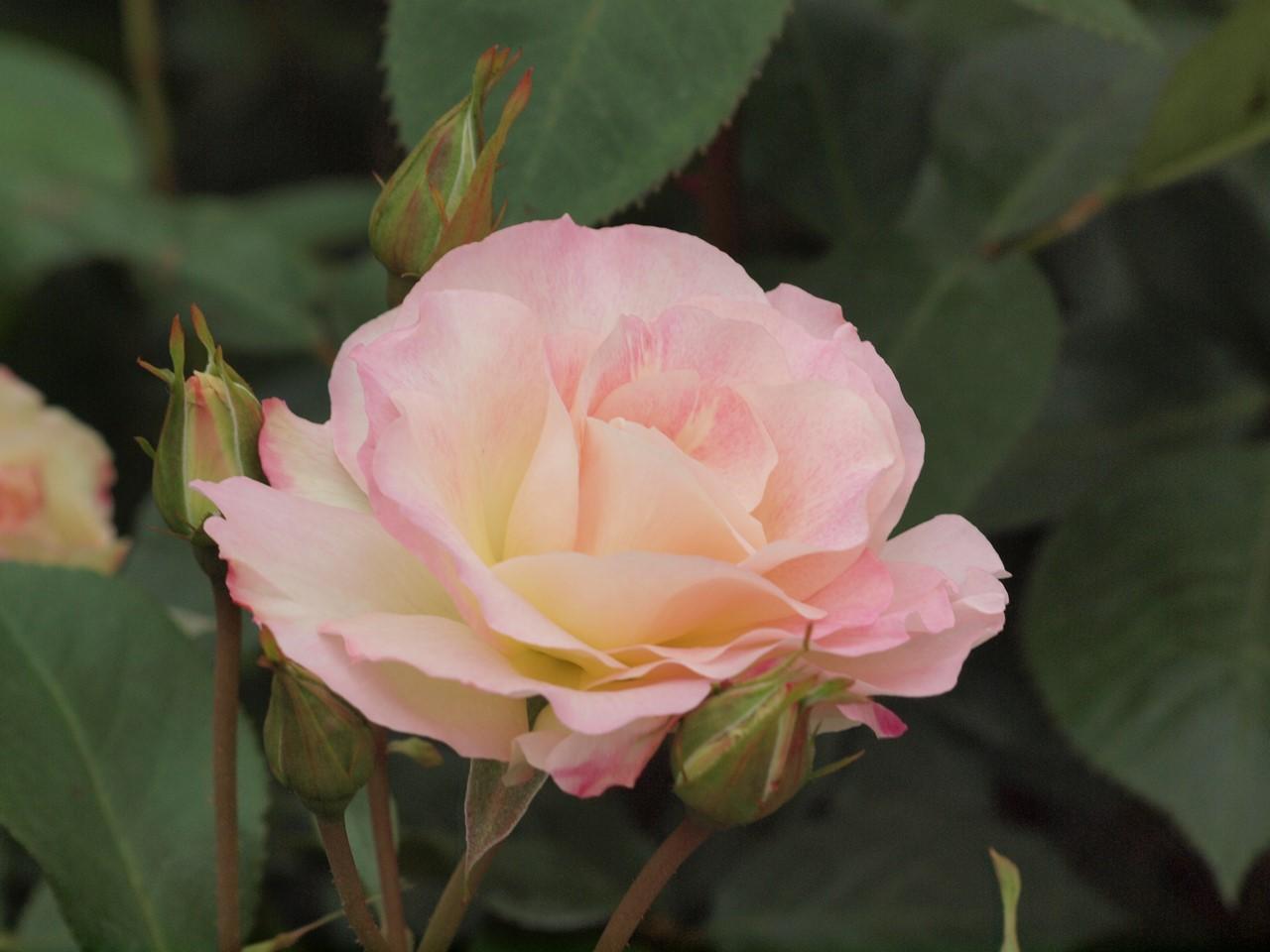 『薔薇の思い出・・・♪』_d0054276_20283153.jpg