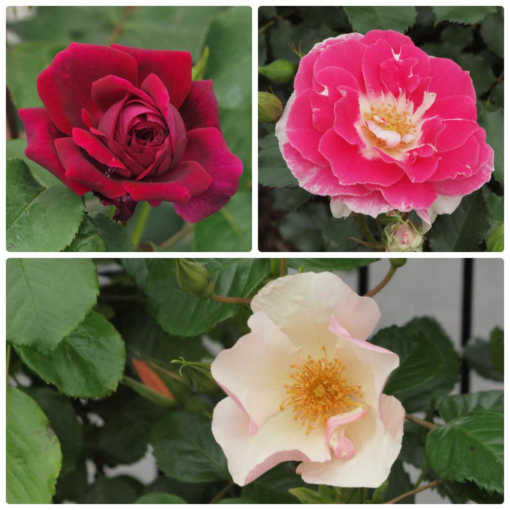 『薔薇の思い出・・・♪』_d0054276_2028558.jpg