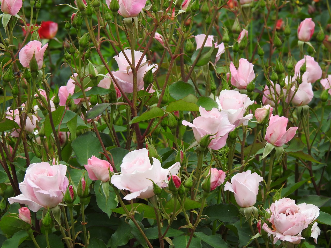 『薔薇の思い出・・・♪』_d0054276_20292266.jpg