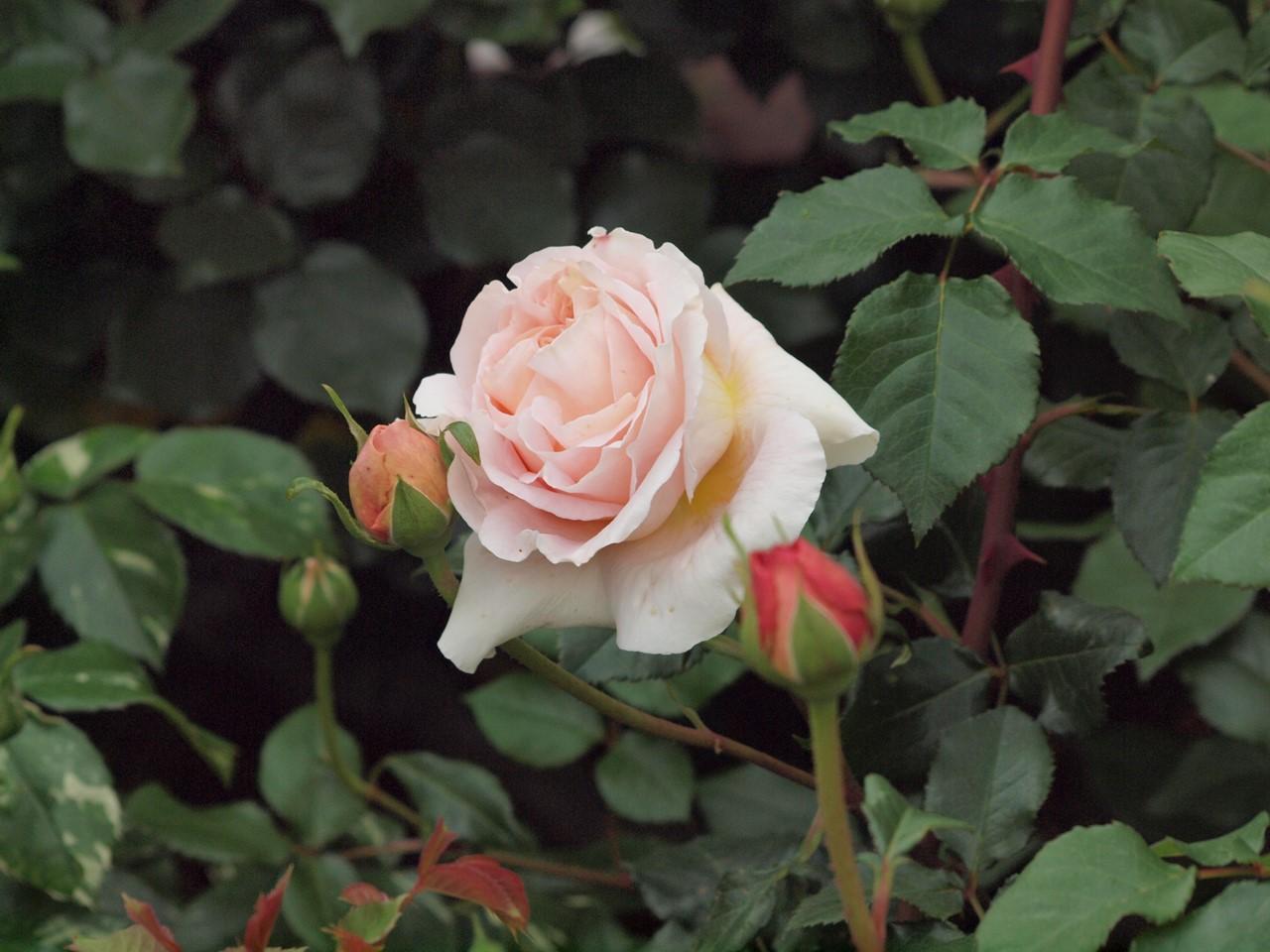 『薔薇の思い出・・・♪』_d0054276_202981.jpg