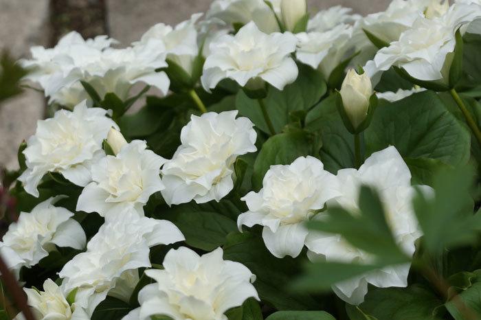 白い花いろいろ_d0162994_08372958.jpg