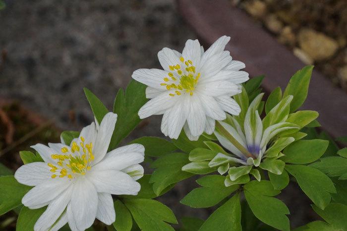 白い花いろいろ_d0162994_08373817.jpg