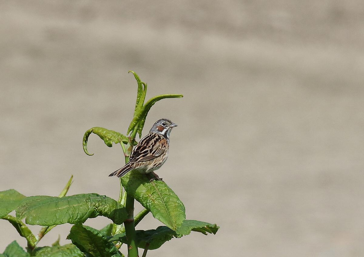 河原の夏鳥さん_c0113597_13254082.jpg