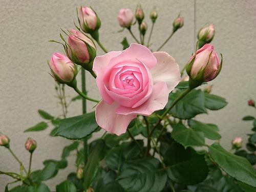 最後のバラは「ギドゥモーパッサン」_e0289203_15320062.jpg