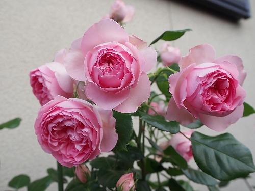 最後のバラは「ギドゥモーパッサン」_e0289203_15320281.jpg