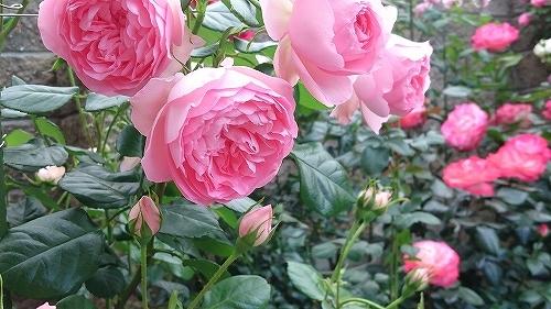最後のバラは「ギドゥモーパッサン」_e0289203_15320598.jpg