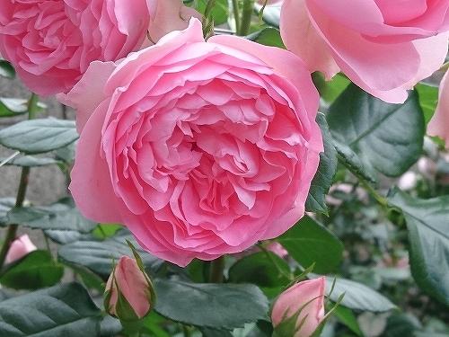 最後のバラは「ギドゥモーパッサン」_e0289203_15321135.jpg