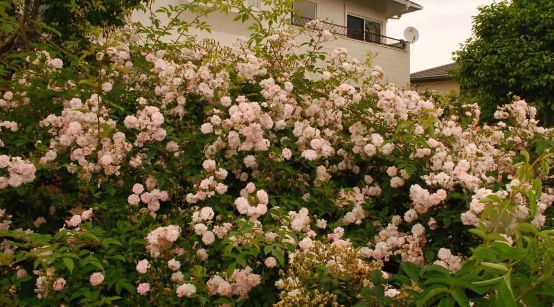 フェンスを彩るオススメのつるバラ ♪♪_b0280025_19553810.jpg
