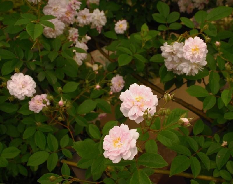 フェンスを彩るオススメのつるバラ ♪♪_b0280025_20053039.jpg
