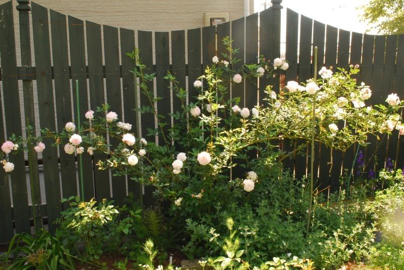 フェンスを彩るオススメのつるバラ ♪♪_b0280025_20240016.jpg