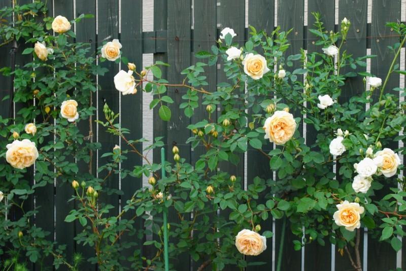 フェンスを彩るオススメのつるバラ ♪♪_b0280025_20350964.jpg