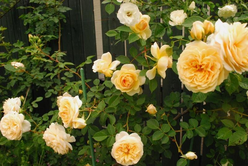 フェンスを彩るオススメのつるバラ ♪♪_b0280025_20374512.jpg