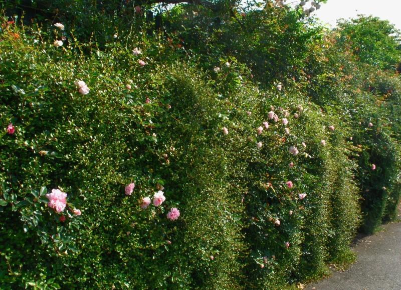 フェンスを彩るオススメのつるバラ ♪♪_b0280025_21030209.jpg