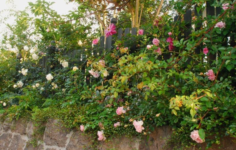 フェンスを彩るオススメのつるバラ ♪♪_b0280025_21163004.jpg