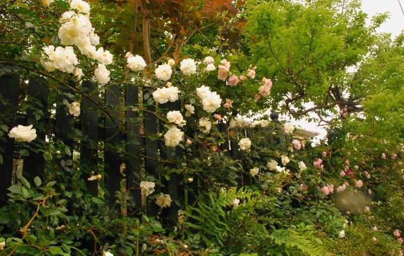 フェンスを彩るオススメのつるバラ ♪♪_b0280025_21173549.jpg
