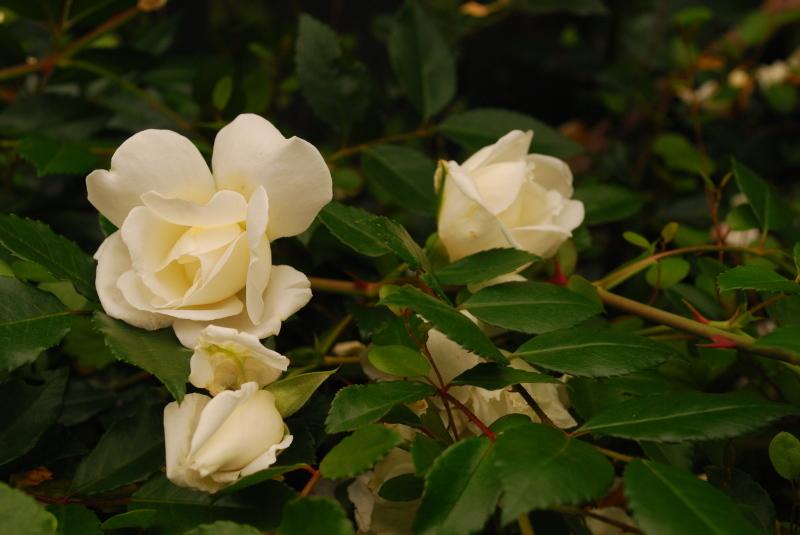 フェンスを彩るオススメのつるバラ ♪♪_b0280025_22193387.jpg