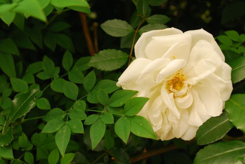 フェンスを彩るオススメのつるバラ ♪♪_b0280025_22205968.jpg