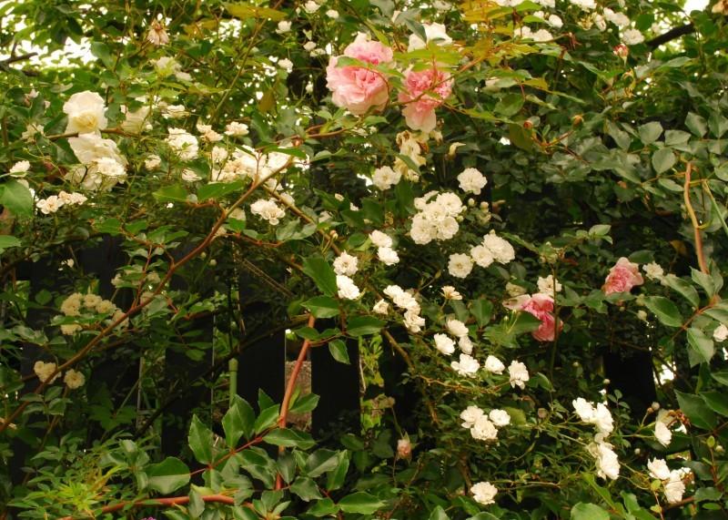 フェンスを彩るオススメのつるバラ ♪♪_b0280025_22262919.jpg