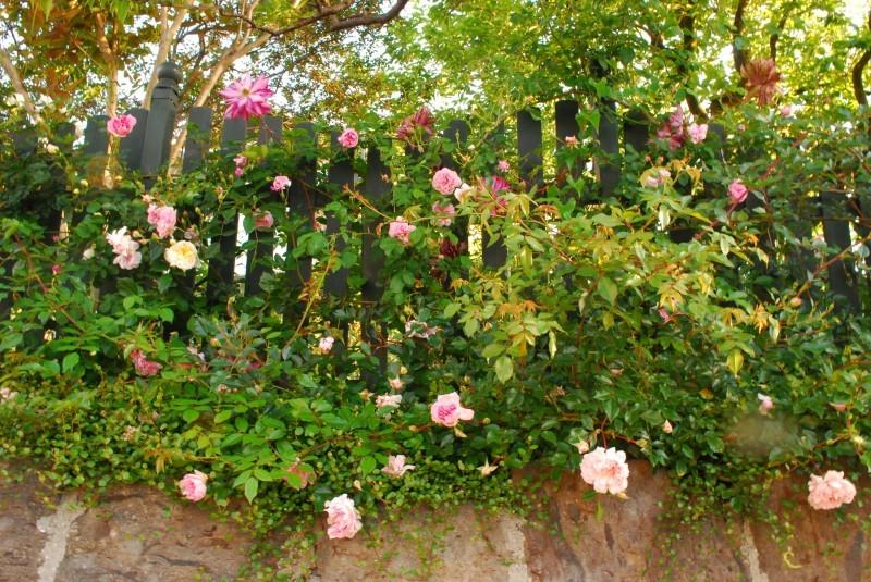 フェンスを彩るオススメのつるバラ ♪♪_b0280025_22414602.jpg