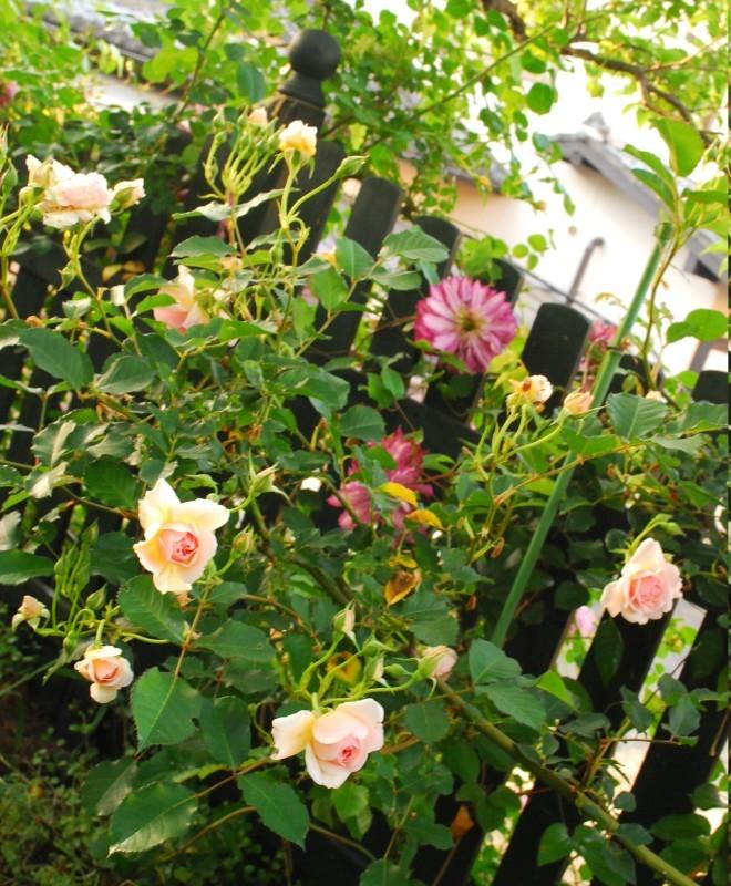 フェンスを彩るオススメのつるバラ ♪♪_b0280025_22472038.jpg