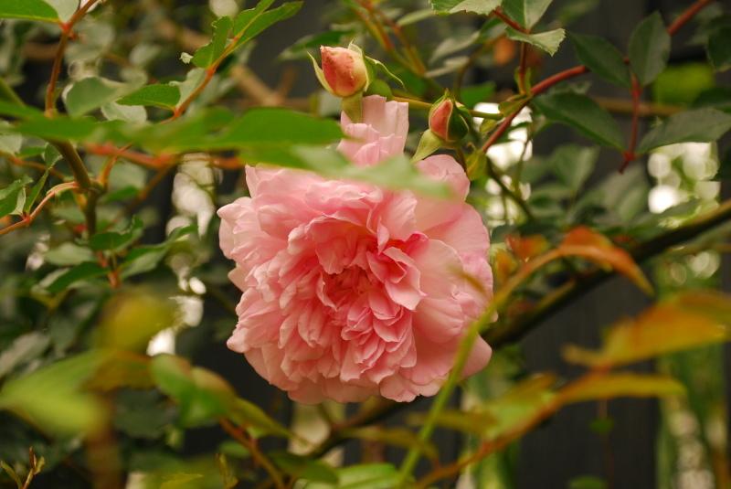フェンスを彩るオススメのつるバラ ♪♪_b0280025_23055249.jpg