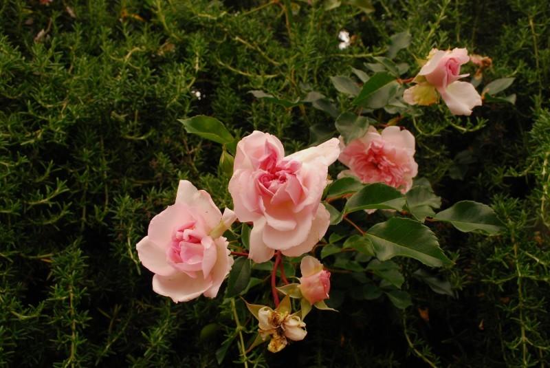 フェンスを彩るオススメのつるバラ ♪♪_b0280025_23083827.jpg