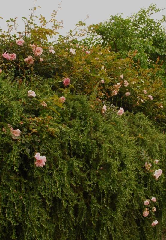 フェンスを彩るオススメのつるバラ ♪♪_b0280025_23210058.jpg
