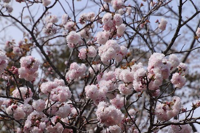 大白公園一周散歩(その1)(撮影:4月11日)_e0321325_19281488.jpg