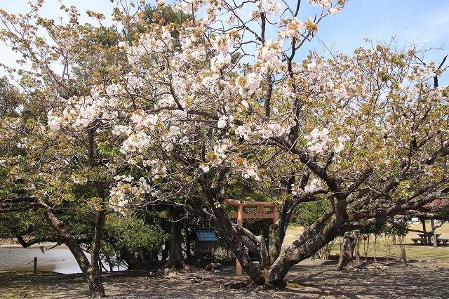 大白公園一周散歩(その2)(撮影:4月11日)_e0321325_19434401.jpg