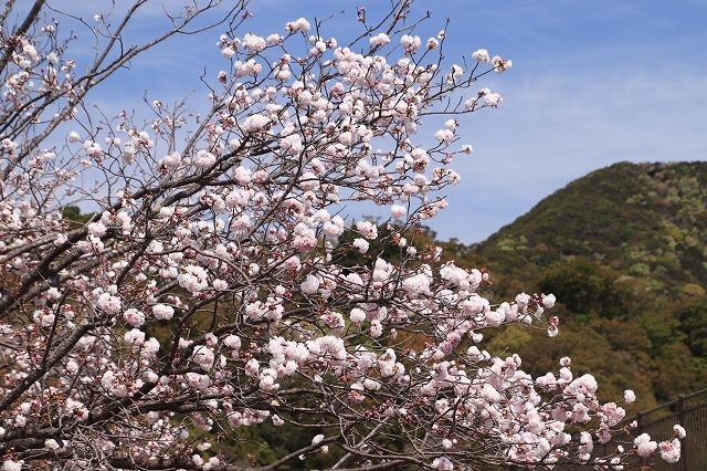 大白公園一周散歩(その2)(撮影:4月11日)_e0321325_19441299.jpg