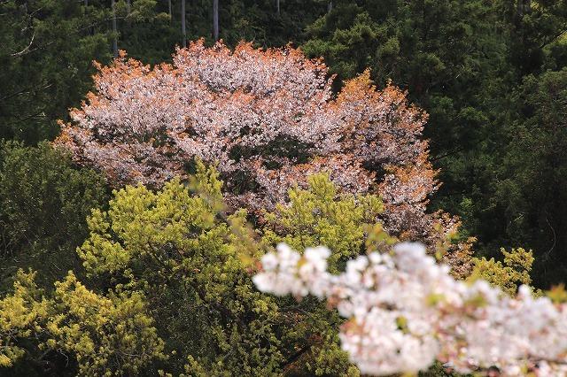 大白公園一周散歩(その2)(撮影:4月11日)_e0321325_19455608.jpg