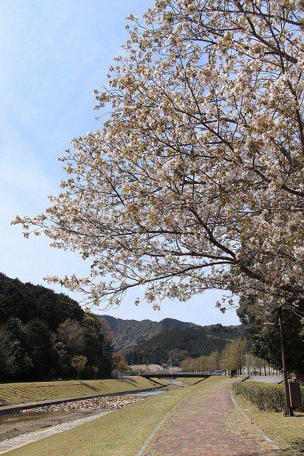 大白公園一周散歩(その2)(撮影:4月11日)_e0321325_19460725.jpg