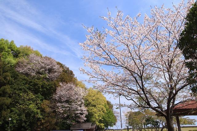大白公園一周散歩(その2)(撮影:4月11日)_e0321325_19464304.jpg