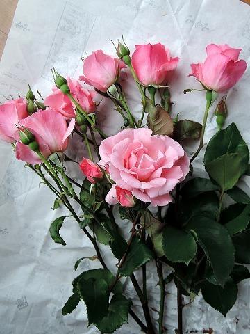 薔薇が咲いた♪_c0062832_15235446.jpg
