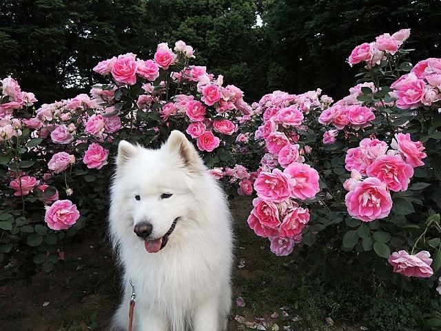 薔薇が咲いた♪_c0062832_16010202.jpg