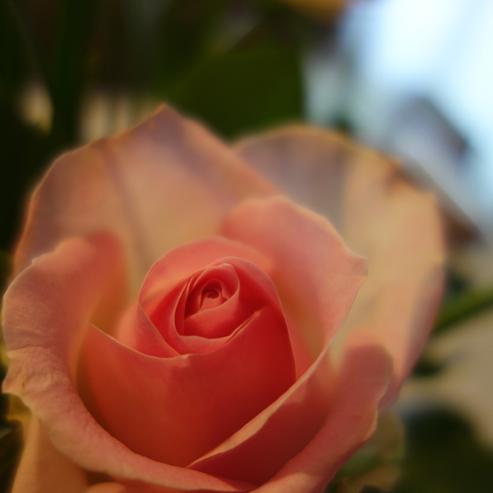 赤薔薇★白薔薇★薔薇薔薇_a0383340_21230904.jpg