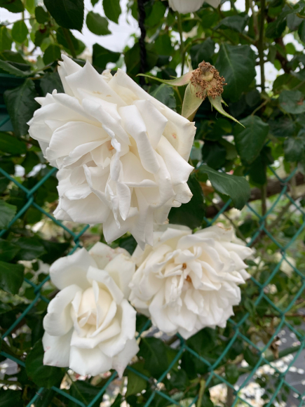 薔薇が満開(^^)_f0141246_07035656.jpg