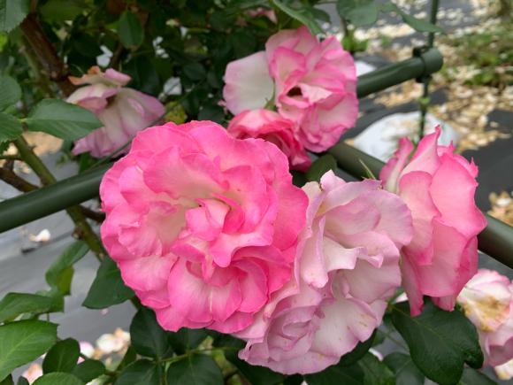 薔薇が満開(^^)_f0141246_07044841.jpg