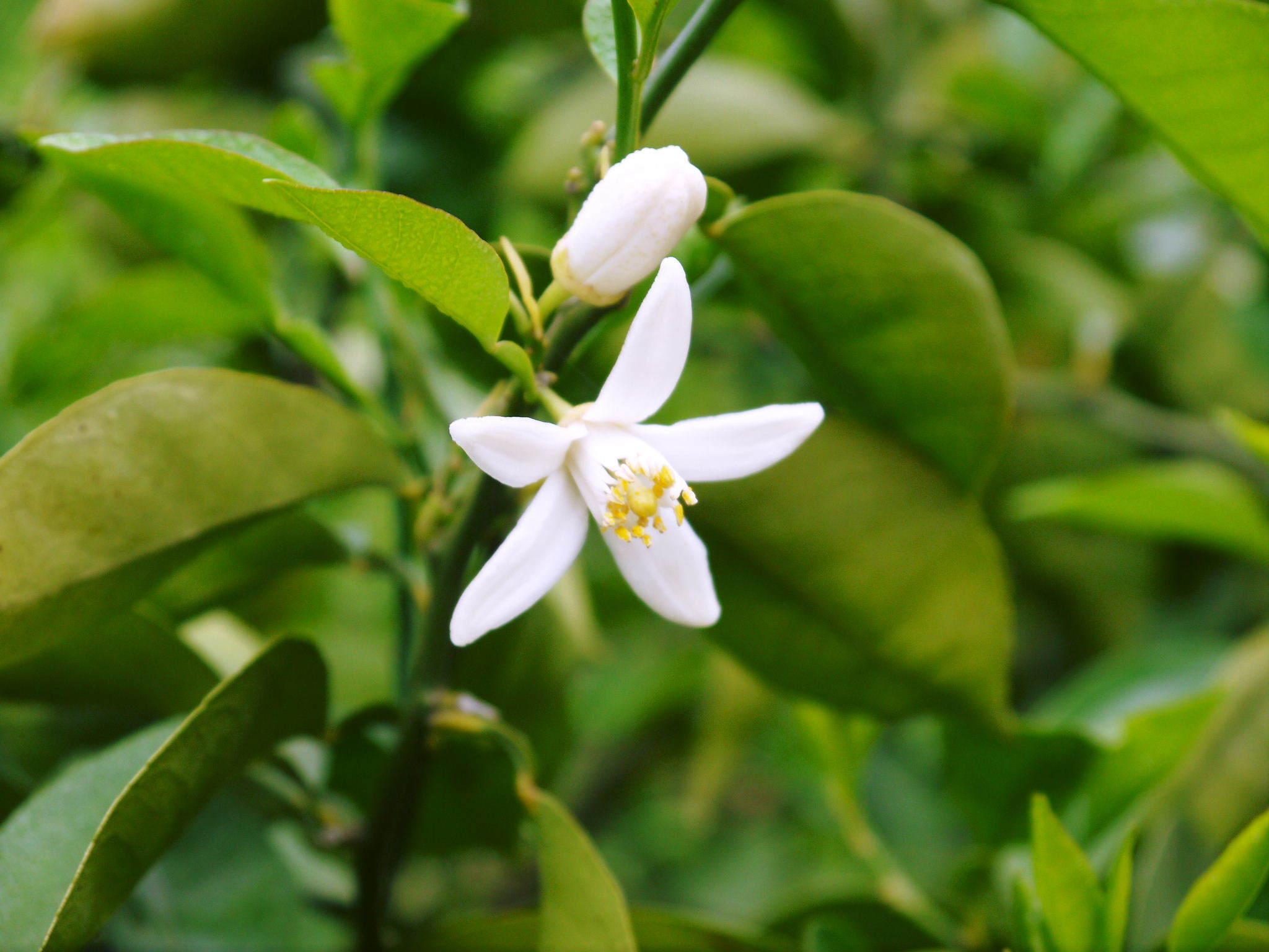 種なしかぼす 花咲く様子(2020) 今年は花が少なくその分玉太りは良いですが収量は激減しそうです!_a0254656_17154771.jpg