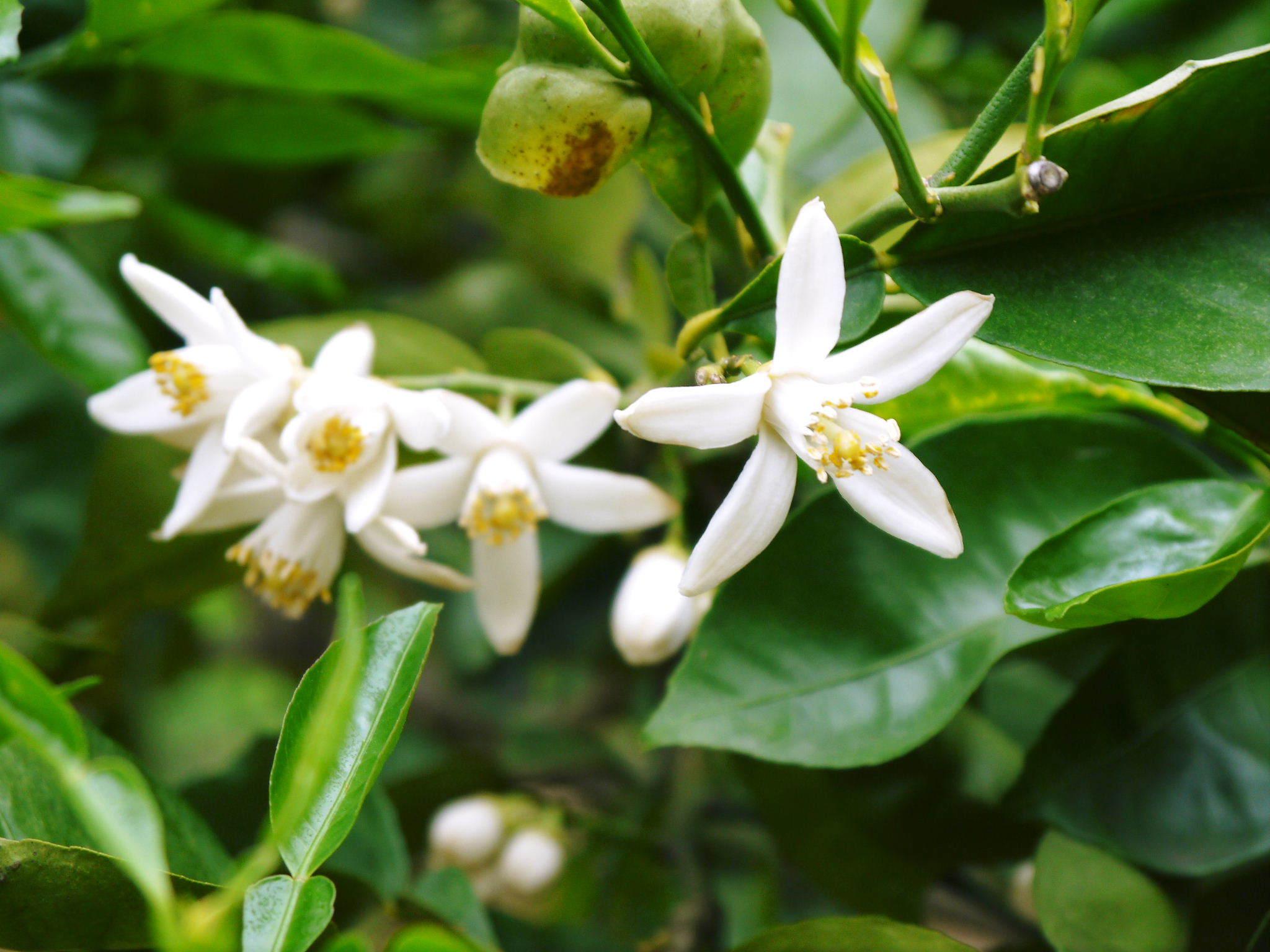 種なしかぼす 花咲く様子(2020) 今年は花が少なくその分玉太りは良いですが収量は激減しそうです!_a0254656_17383249.jpg