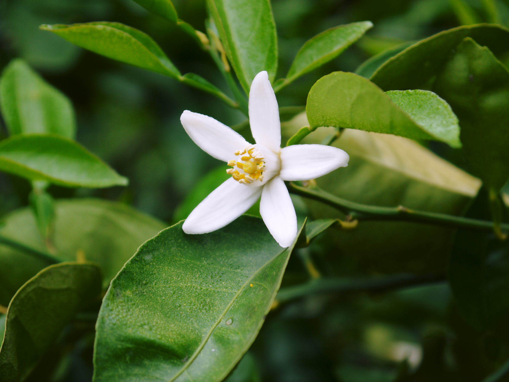 種なしかぼす 花咲く様子(2020) 今年は花が少なくその分玉太りは良いですが収量は激減しそうです!_a0254656_17402299.jpg