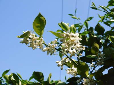 種なしかぼす 花咲く様子(2020) 今年は花が少なくその分玉太りは良いですが収量は激減しそうです!_a0254656_17415683.jpg